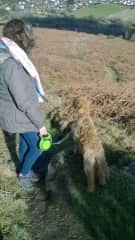 Walking a great Irish Terrier in England