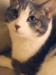 Mortimer my daughters 13 year old short hair feline.