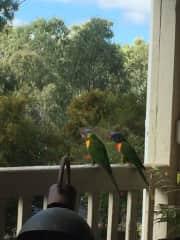 Beautiful parrots visit