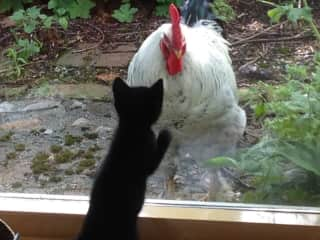 The rooster and the kitten first meet through glass.