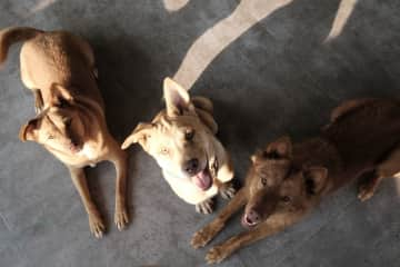 Dog pack in Thailand
