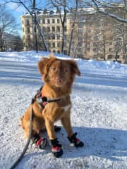 Snowy Kungsholmen! During winter, when it's too cold, her paws start to hurt. Her winter boots last about 6 min on her paws, but worked out for a great photo