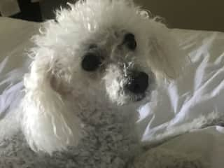 Lulu my Miniature French Poodle