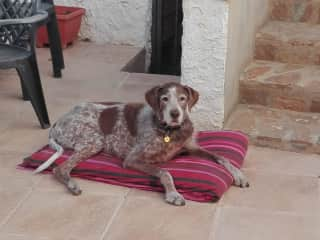 This is Bono, a Spanish hunting dog, we looked after him for a week in October 2019