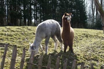 Friendly alpacas on the llama farm!