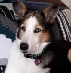 Cassie -- she is a husky/german shephard and possible border collie mix.  Very sweet girl.