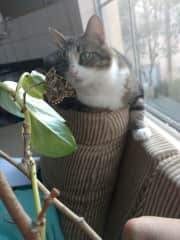 We raised caterpillars to become lovely but and our cat was fascinated by them!