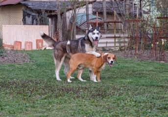 My father's Beagle and a friend's Husky