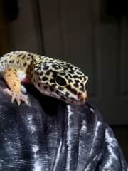 She never got a name but is one of the tamest Leopard geckos I've ever met