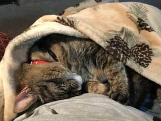 Maggie burrowing in a blanket