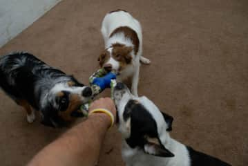 Four way tug-o-war with Tucker, Blue and Kona