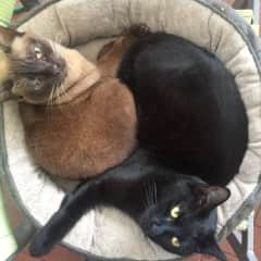 PG is the brown Burmese and Stewie is the black rescue cat