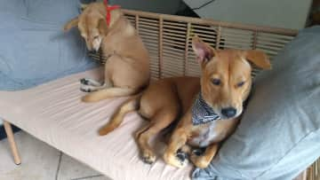 Dobby and Coco, Bali (Ika is out of the picture): rescue dogs in a villa in Bali