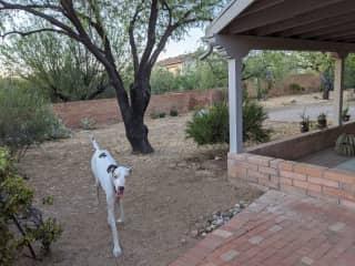Zazu happy in the fully enclosed backyard.