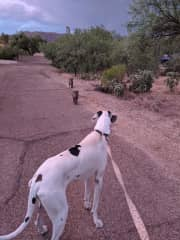 Much wildlife in the neighborhood, she is used to seeing bunnies, javelina (pictured), roadrunners, quail and more on our walks.