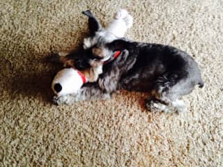 """Our miniature schnauzer, Zoie, playing with her """"Dolly."""""""