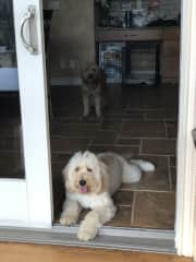 The White Golden Doodle Magnolia is my puppy and the Golden Golden Doodle Cooper is my family's.