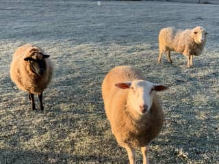Our woolly friends.