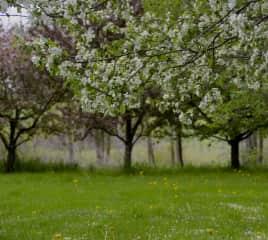 Apple Trees in Spring