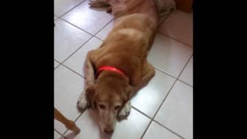 Coco, yellow lab, good girl