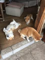 Shiba family waiting for breakfast