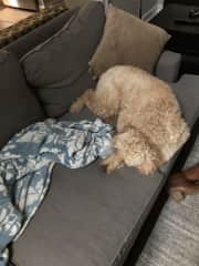 The sweetest poodle I house set for for a week!