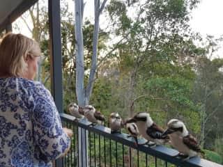 Feeding the Kookaburras on the balcony.