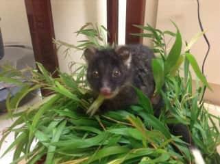 Baby Endangered Western Ringtail Possum