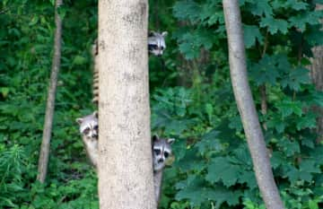 Visiting family of raccoons