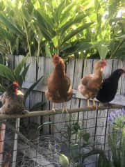 Our four gorgeous girls - Cher, Delphi, Augustus, Nero