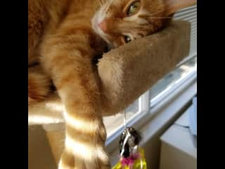 Bidi, Lady Bug's feline brother (pet sit)