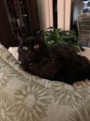Silas ~ Nashville Kitty