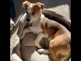 Tango is a Corgi-Jack Russell mix --we think.  He was a rescue from TX and we adopted him in July 2020. He and Koko play together  until she gets tired of him.