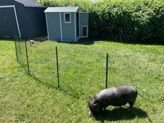 Petunia and the pig enclosure in the backyard