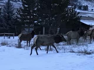 local elk in front yard