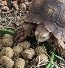 Shirley eating tortoise pellets