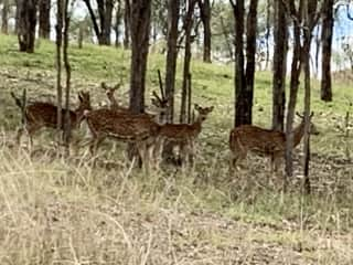 Our property is a wild life corridor so you will regularly see these small deer.