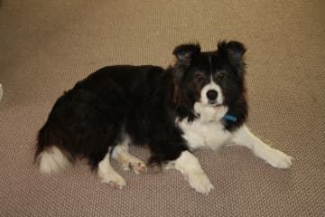 Our lovely Border Collie Tess, sadly no longer with us