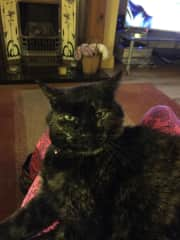 Twiglet sitting on my knee, friend's cat I looked after in my home over Christmas 2018/New Year and since