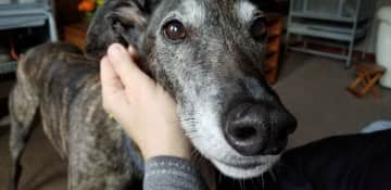 This gorgeous Greyhound was incredibly sweet! (Scotland)