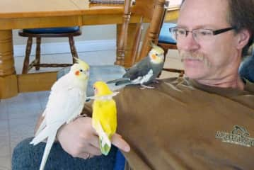 Our cockatiel, Lennie, and visiting guests Little White and Little Yellow