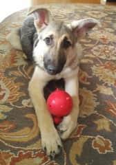 Our newest member. ;Dexter: a Silver Sable German Shepherd