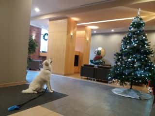 Quinn Contemplating the Beautiful Christmas Tree
