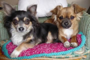 House sitting for family - two chihuahuas and a cat