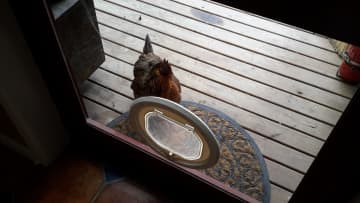 Miss Chicky who would love to come into the house.  It's probably good she hasn't figured out the cat door!