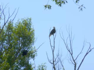 I took this photo of a Bald Eagle while doing field reasearch.