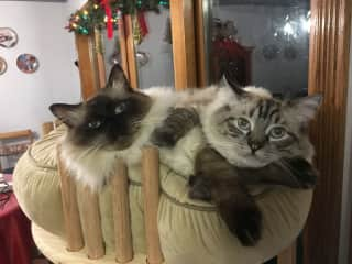 Simba and Matisse the Ragdoll's (1 year old)