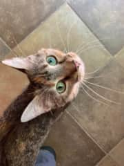Mig is the big sister with incredible green eyes!  Mig likes to be petted and is a very human oriented feline.