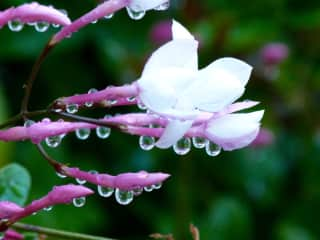 Some of my photography -- jasmine in my garden after the rain....
