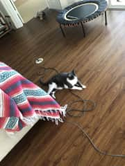felix is supervising my vacuuming skills